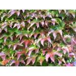 Viinapuu pungade gemmaekstrakt- Ampelopsis weitchii