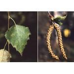 Hõbekase seemnete gemmaekstrakt -Betula verrucosa semi