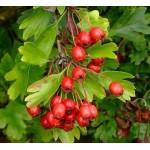 Viirpuu võrsete gemmaekstrakt-Crataegus oxyacantha