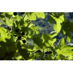 Viigipuu pungade gemmaekstrakt – Ficus carica
