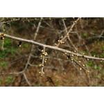 геммаэктракст почек терносливы-Prunus spinosa