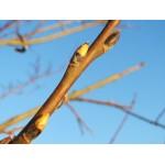 геммаэкстракт почек белой ивы- Salix alba gemme