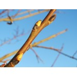 Valge paju pungade gemmaekstrakt-Salix alba gemme