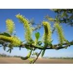 Valge paju õite gemmaekstrakt-Salix alba amenti