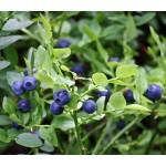 Mustika võrsete gemmaekstrakt- Vaccinium myrtillus