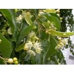 Pärnaõie pungade gemmaekstrakt- Tilia tomentosa