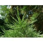 Hiidsekvoia võrsete gemmaekstrakt-Sequoia gigantea