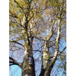 Kasepungade gemmaekstrakt-Betula pubescens
